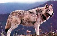 http://www.animals-plants.com/i/wolves_02.jpg