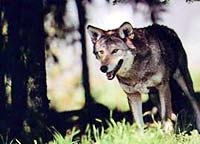 http://www.animals-plants.com/i/wolves_04.jpg